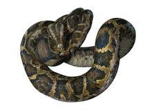 3D rendant le python birman sur le blanc Image libre de droits