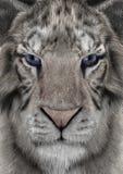 3D rendant le tigre blanc Photo libre de droits