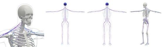 3D rendant médical du système de nerf Photographie stock