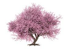 3D rendant Sakura Tree de floraison rose sur le blanc photo libre de droits