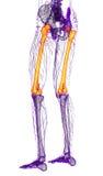 3d rendem a ilustração médica do osso do fêmur Fotos de Stock Royalty Free