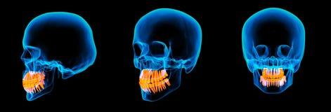 3d rendem o crânio humano do raio de x Foto de Stock
