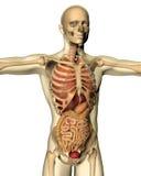 3D rendent d'une image médicale d'un chiffre masculin Photo libre de droits