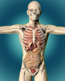 3D rendent d'une image médicale d'un chiffre masculin Images stock