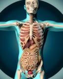 3D rendent d'une image médicale d'un chiffre masculin Image stock