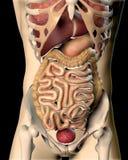 3D rendent d'une image médicale d'un chiffre masculin Image libre de droits