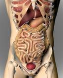 3D rendent d'une image médicale d'un chiffre masculin Photos stock