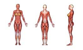 3D rendent : illustration de corps féminin avec la texture de tissus de muscle Image libre de droits