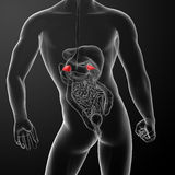 3d render adrenal anatomy Stock Image