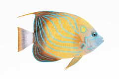 3D Render of Blue Ring Angel Fish. Realistic 3D Render of Blue Ring Angel Fish Royalty Free Stock Photography