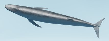 3D Render of Blue Whale. Realistic 3D Render of Blue Whale Stock Photography