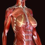 3d render depicting the muscle structure of the human body. There are over 600 skeletal muscles within the typical human body.Almost every muscle constitutes one Stock Photo