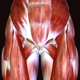 3d render depicting the muscle structure of the human body. There are over 600 skeletal muscles within the typical human body.Almost every muscle constitutes one Stock Images