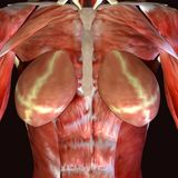 3d render depicting the muscle structure of the human body. There are over 600 skeletal muscles within the typical human body.Almost every muscle constitutes one Royalty Free Stock Photography