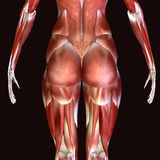 3d render depicting the muscle structure of the human body. There are over 600 skeletal muscles within the typical human body.Almost every muscle constitutes one Stock Image