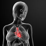 3d render female anatomy - heart. Front view Royalty Free Stock Image