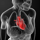 3d render female anatomy - heart. Top view Stock Photography