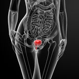 3d render female bladder anatomy x-ray royalty free illustration