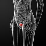 3d render female bladder anatomy x-ray Royalty Free Stock Image