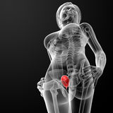 3d render female bladder anatomy x-ray Stock Image