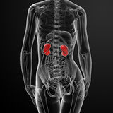 3d render female kidney anatomy x-ray. Back view Stock Image