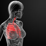 3d render female respiratory anatomy Royalty Free Stock Image