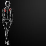 3d render female scapula bone Stock Images