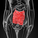 3d render of the female small intestine Stock Photos