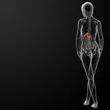 3d render of the female stomach Stock Images