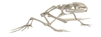 3d render of frog skeleton Stock Photos