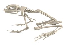 3d render of frog skeleton Stock Photo