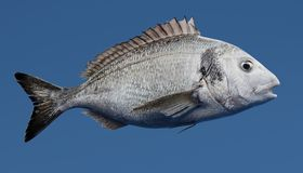 3D Render of Gilthead Bream Fish. Realistic 3D Render of Gilthead Bream Fish Stock Photography