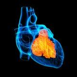3d render Heart atrium. Front view Stock Image