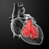 3d render Heart atrium. Front view Royalty Free Stock Images