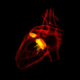 3d render Heart valve. Back view Royalty Free Stock Photography