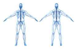 3d render of human body and skeleton Stock Photography