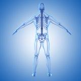 3d render of human body and skeleton. 3d render of human body and human skeleton Royalty Free Stock Photo