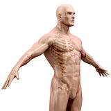 3d render of human body and skeleton Stock Photos