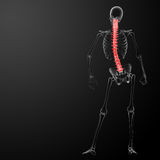 3d render Human Spine Anatomy Stock Photos