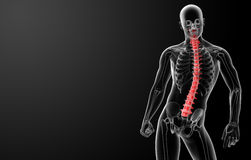 3d render Human Spine Anatomy Stock Photography