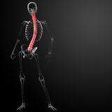 3d render Human Spine Anatomy Royalty Free Stock Photo