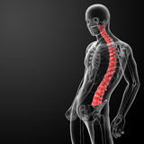 3d render Human Spine Anatomy Royalty Free Stock Photography