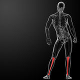 3d render human tibia Stock Photography