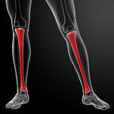3d render human tibia Royalty Free Stock Image