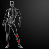 3d render human tibia Stock Photo