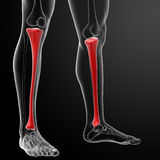 3d render human tibia Royalty Free Stock Photos
