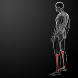 3d render human tibia Royalty Free Stock Images