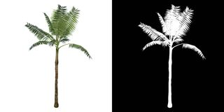 Front view of Plant Dictyosperma album Hurricane Palm 1 Tree png with alpha channel to cutout made with 3D render