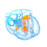 3d render illustration of the Heart valve Stock Photo