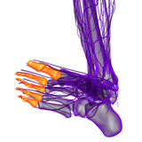 3d render illustration of the human phalanges foot Royalty Free Stock Photo